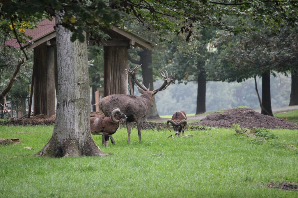 Deer in Wildpark Knuell.JPG